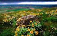乌拉草(多年生草本植物